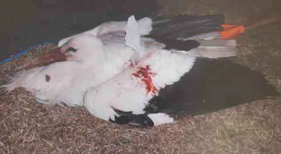 Postrzelił bociana